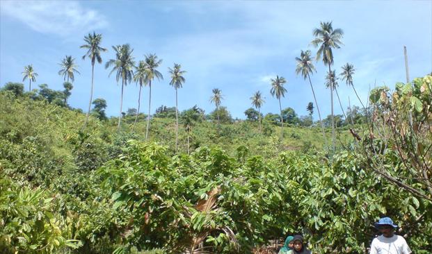 Pohon Penaung Tanaman Kakao