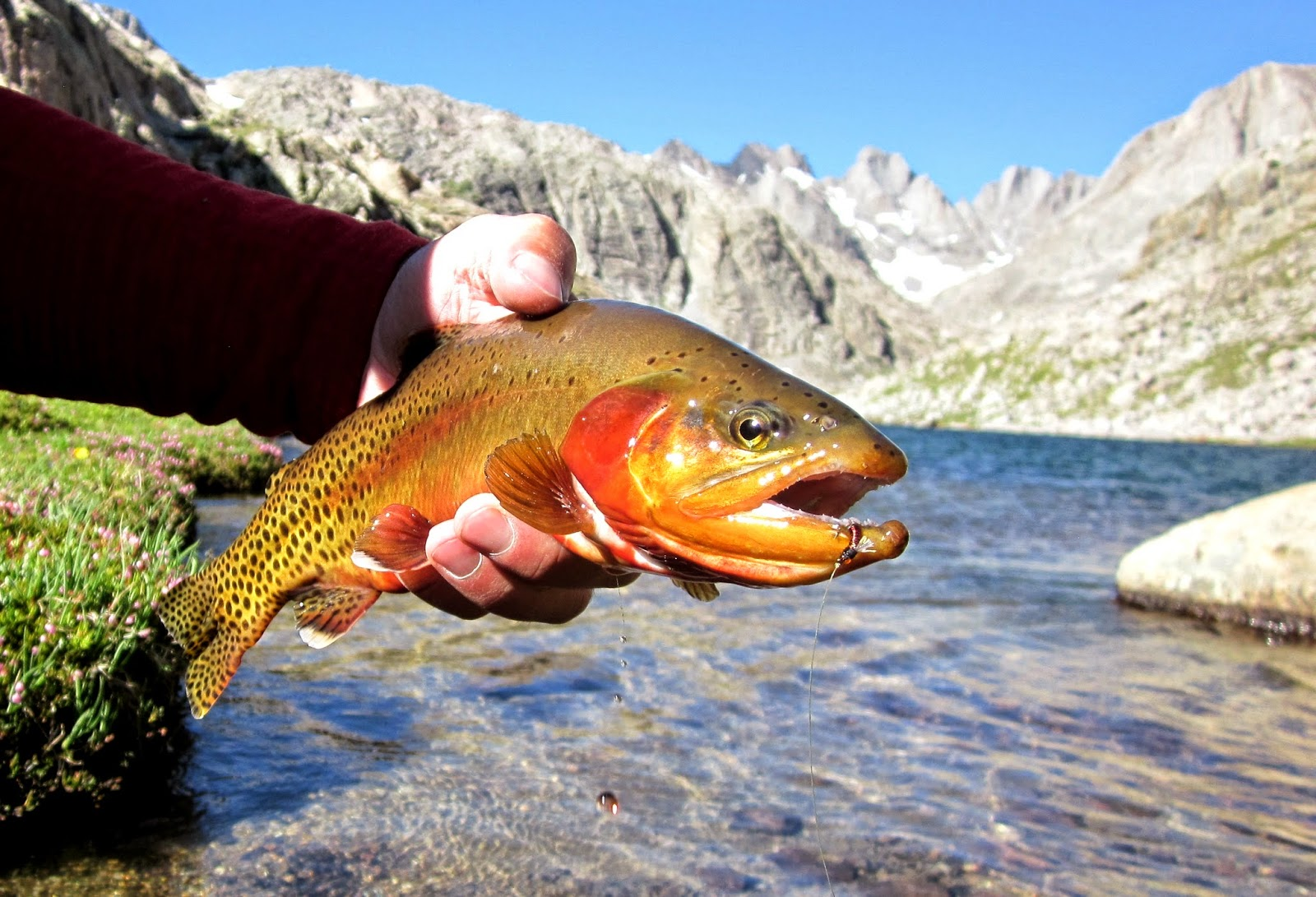 golden trout the peacock of the trout world trout and ForGolden Trout Fishing