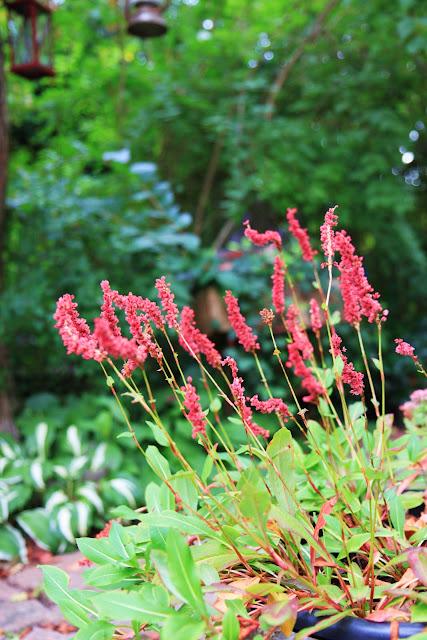 Inspiration bergormot långblommande perenn sommarblomma trädgårdsdesign