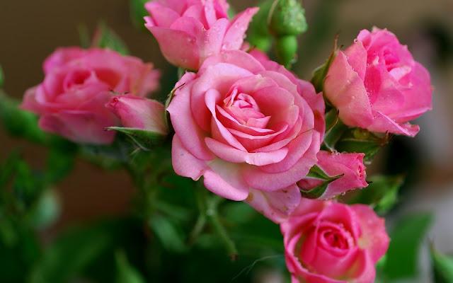 Flores Rosas Rosadas