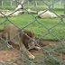 A freed circus lion can't get over how amazing real grass is