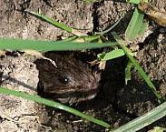 Foto cover Terugkerende muizenplagen in Nederland: inventarisatie, sturende factoren en beheersing