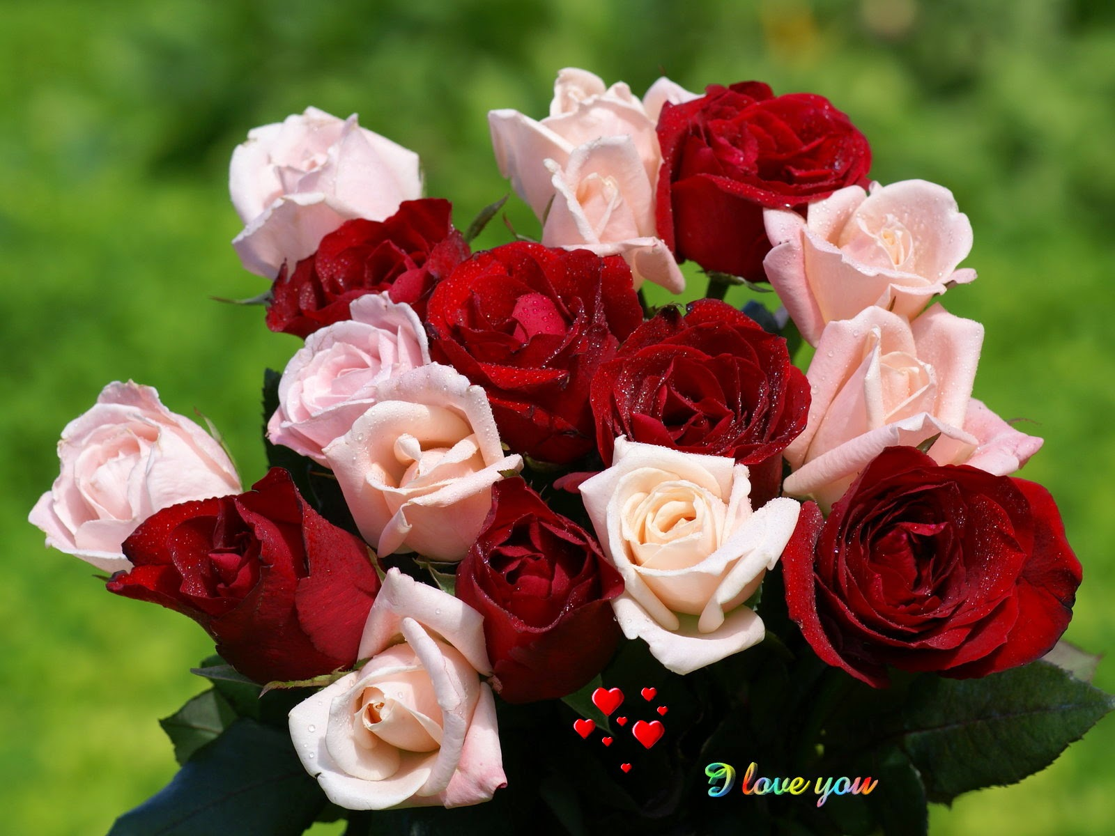 Beautiful Rose Flower Stills