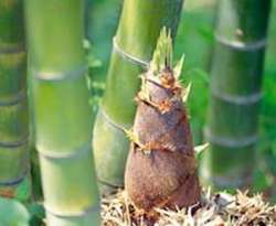 Permalink to Young bamboo shoots Healthy Benefits