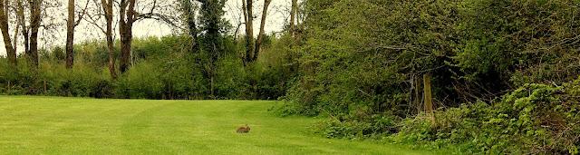 wild rabbit at bluestone wales