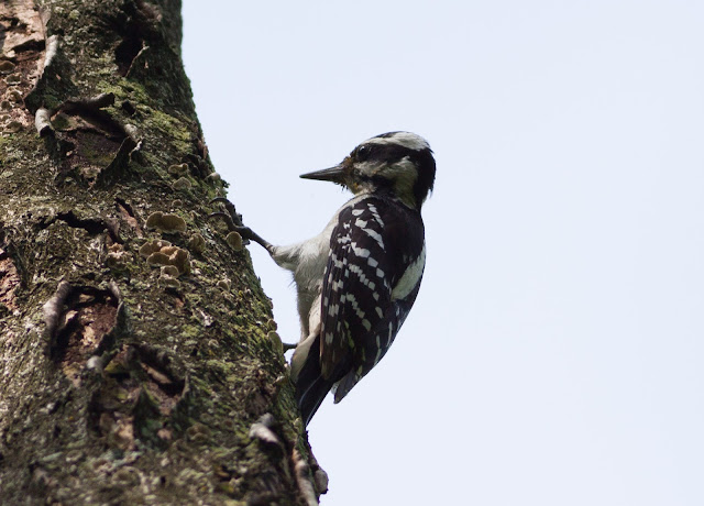 Hairy Woodpecker - Inwood Hill Park, New York