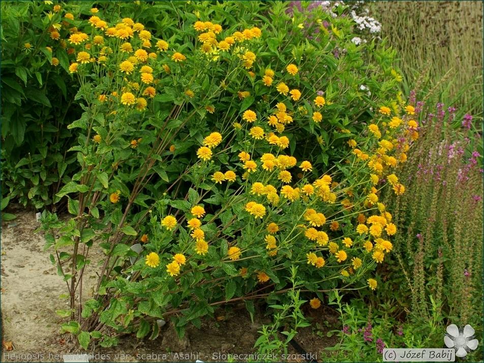 Heliopsis helianthoides var. scabra 'Asahi' - Słoneczniczek szorstki 'Asahi' pokrój
