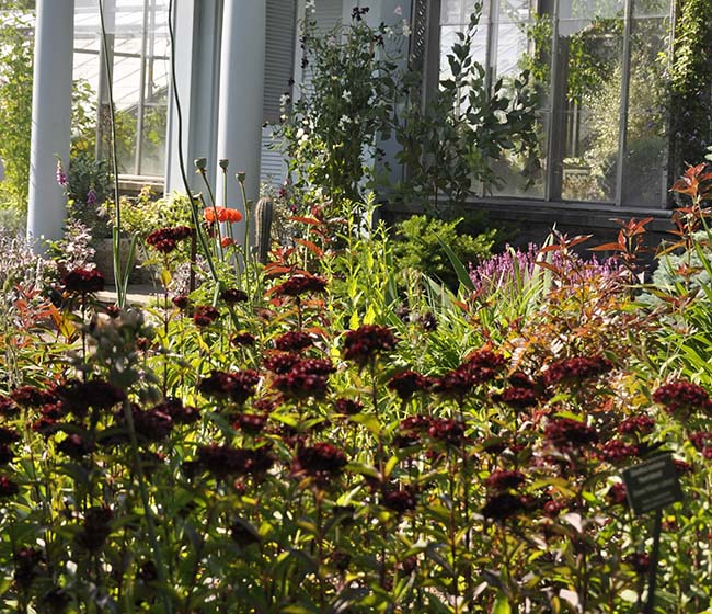 Dianthus barbatus, or Sweet William 'Heart Attack'