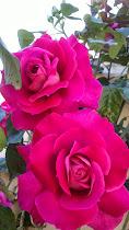 Este año 2013 los rosales