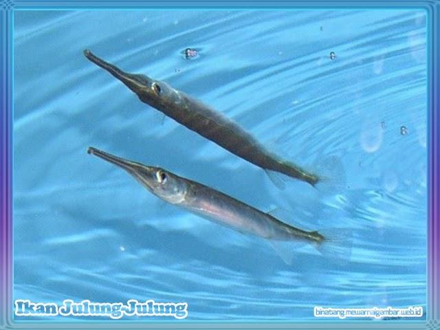 gambar ikan julung-julung