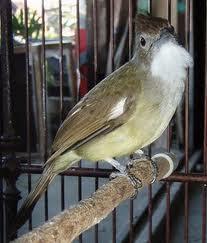 Memilih jenis Suara Master  untuk Burung