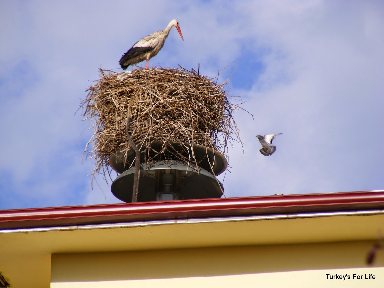 Storks In Iğdır, East Turkey