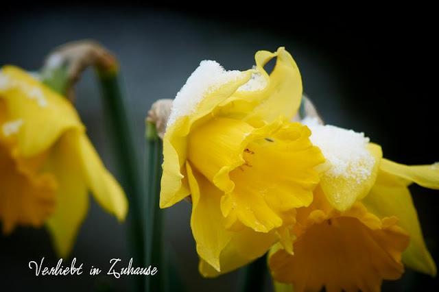 Fotografiert im Winter: Gelb blühende Narzissen mit Schnee