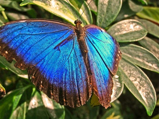 Morpho menelaus significa morpho morpho azul morfa azul morpho menelaus images blue morpho caterpillar morpho amathonte morpho theseus images blue morpho