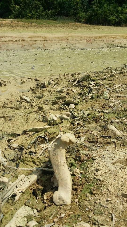 GAMBAR – Tulang Babi Dalam Kolam Ikan Patin Di Perak