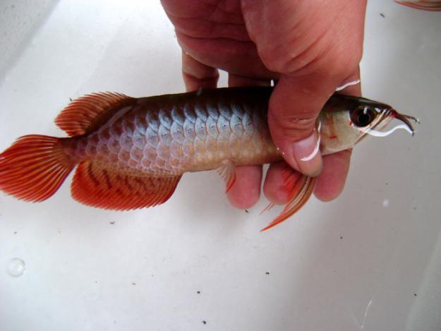 how to identify male and female silver arowana fish