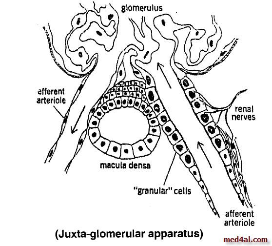 juxta-glomerular-apparatus