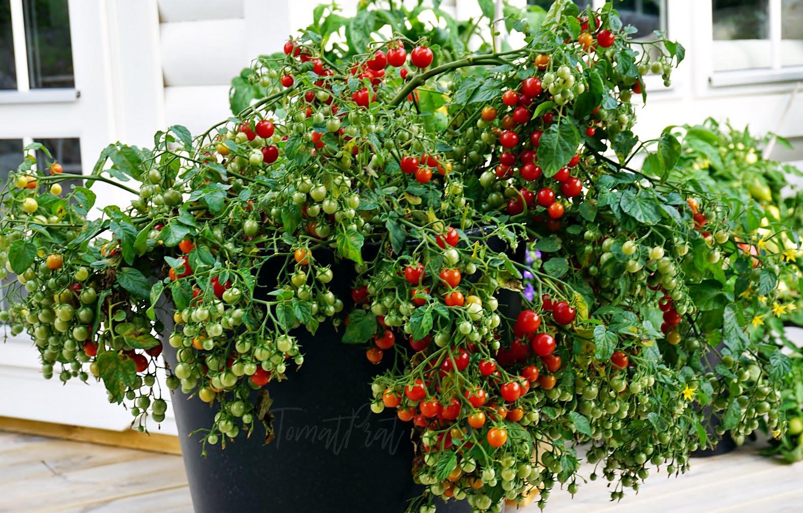 Slik lykkes du med tomatdyrking utendørs