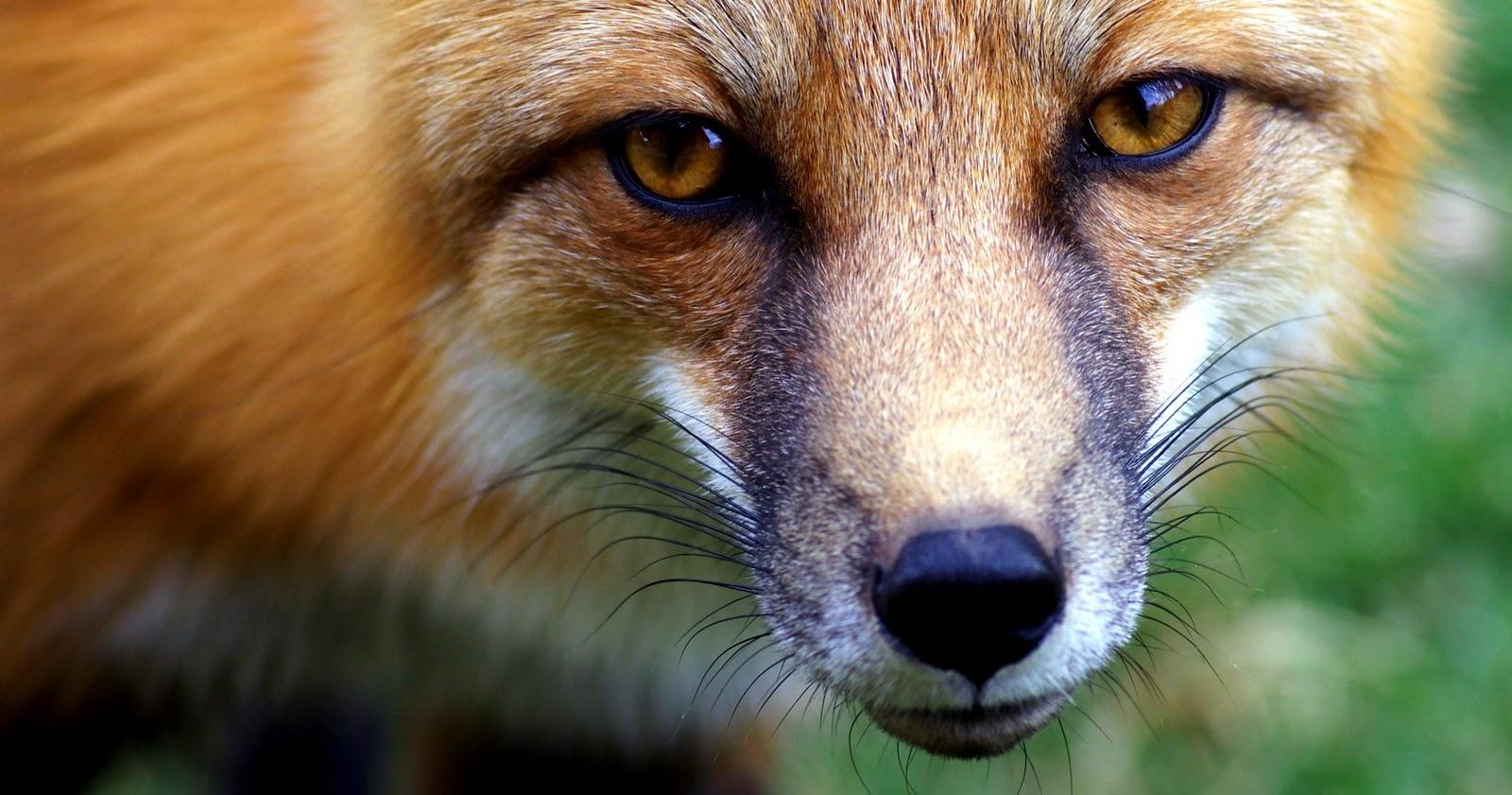 name fox eyes - photo #10