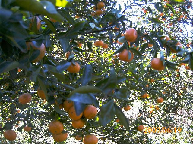 Estágio no Sítio dos Herdeiros Cultivando frutas no jardim POMAR