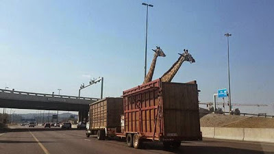 giraffe-transport