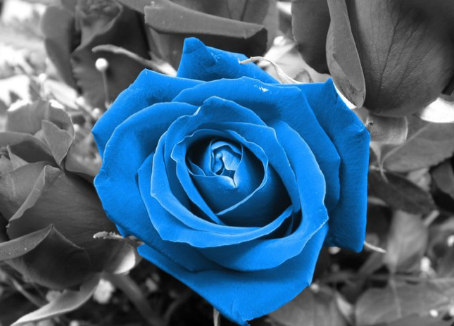 Funn99 Funn4every1 Does Blue Rose Mean Something To You