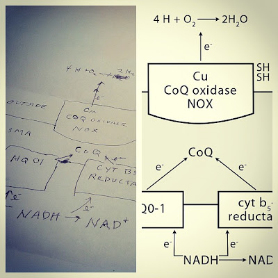 hand drawn biochemistry figure