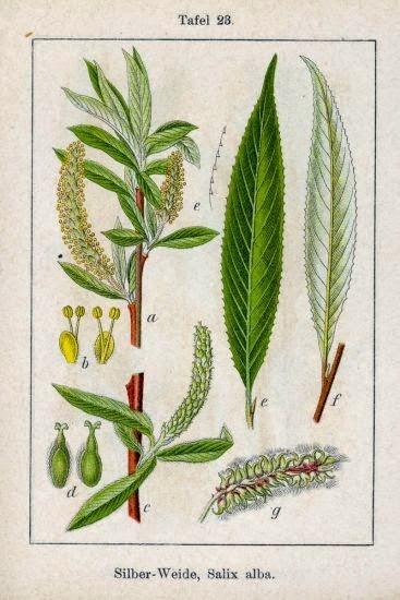 WIERZBA BIAŁA Salix alba