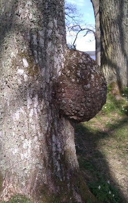 knöl på trädstam