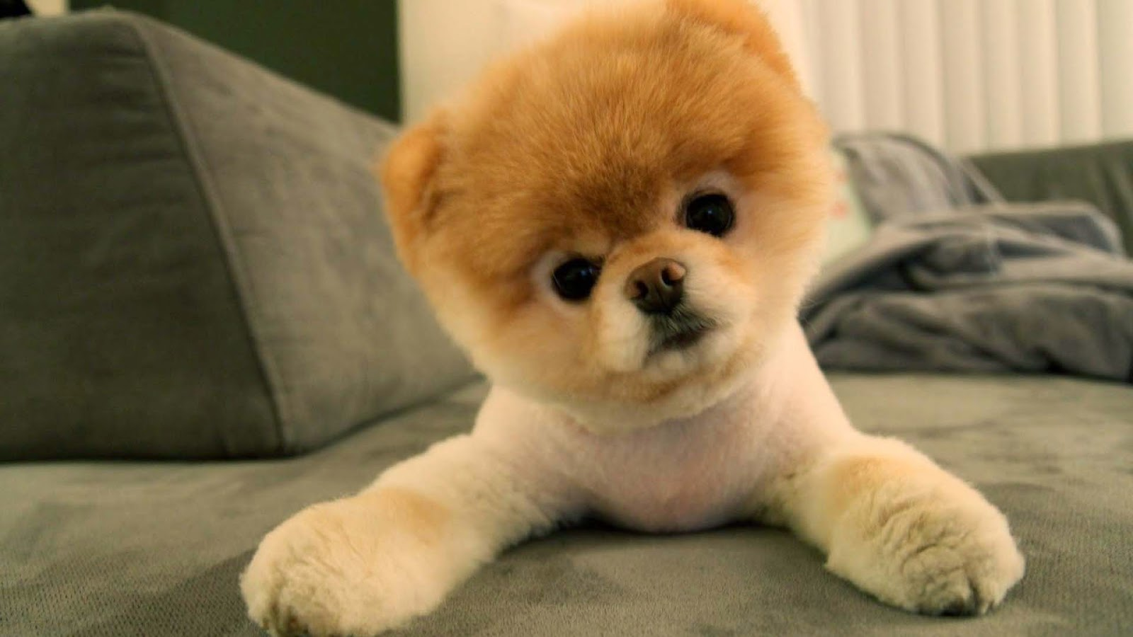 cute pomeranian puppies wallpaper image | free hd wallpaper
