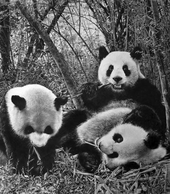 Рисунки панд карандашом