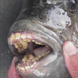 Pacu, Ikan Yang Memiliki Gigi Seperti Manusia