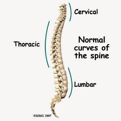 Lumbar Thoracic and Cervical curves