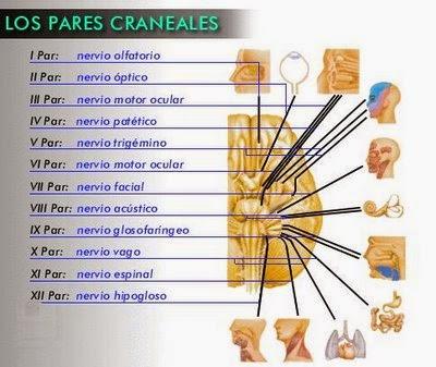 Procesos psicol gicos b sicos nervios craneales for 12 paredes craneales