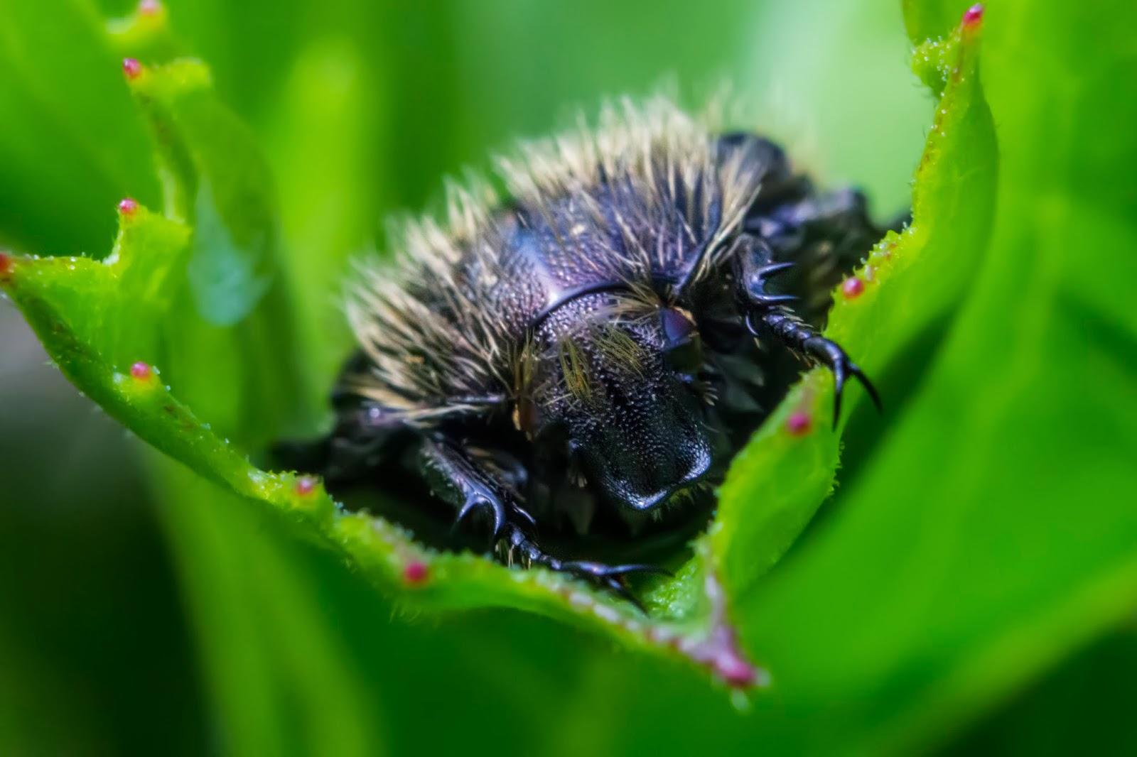 Fotografía macro de un escarabajo