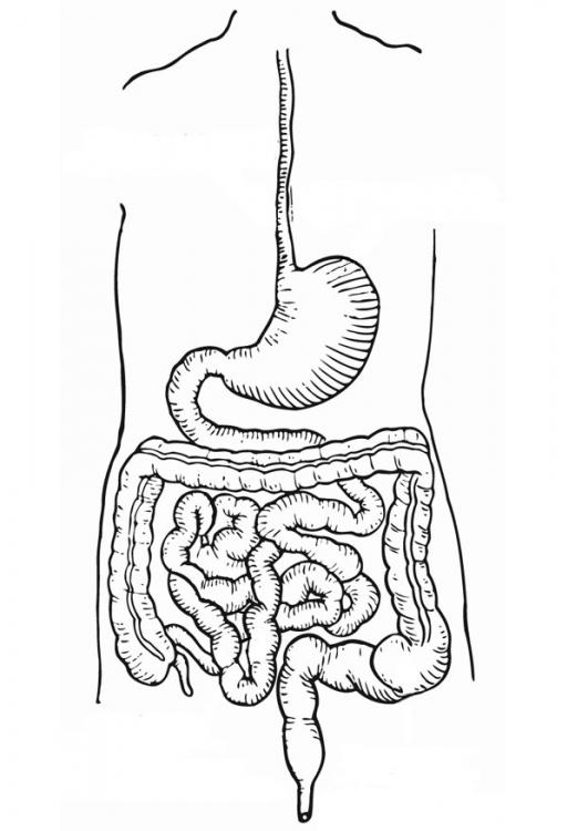 Imagen del aparato digestivo para colorear - Imagui