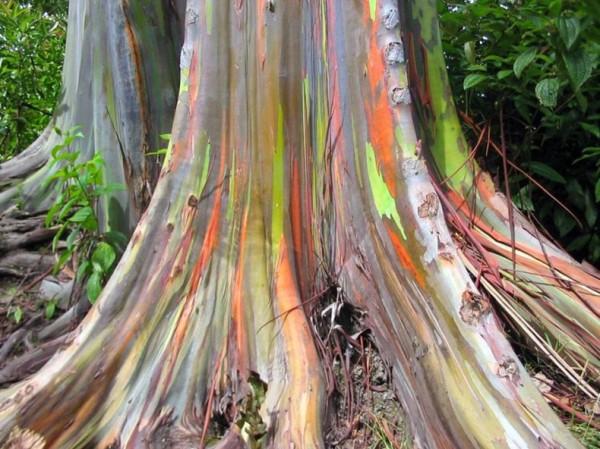 شجرة ذو الوان طبيعية مبهرة rainbow-eucalyptus-8