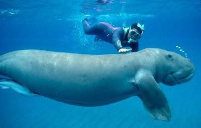 7 Hewan Raksasa Yang Bisa diajak Nyelam di Laut Indonesia
