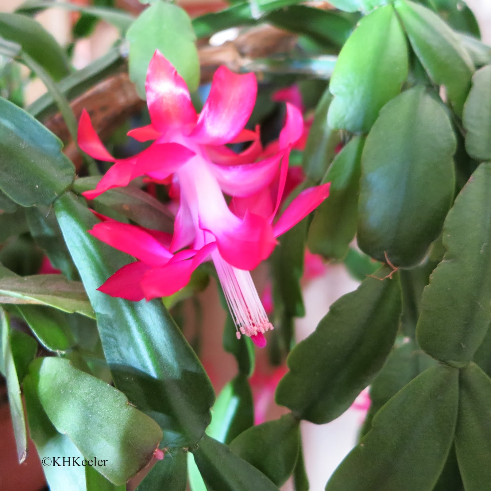 A Wandering Botanist Growing A Happy Christmas Cactus Lessons
