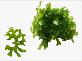 gambar-Pelia-Tulang-Monosolenium-Tenerum-tanaman-moss-aquascpe