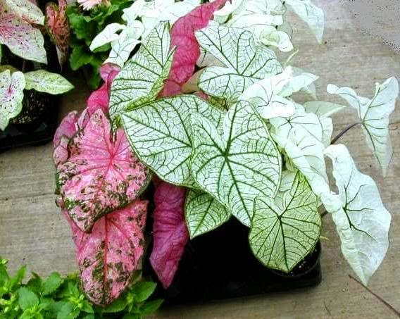 Peces y plantas ornamentales caladium bicolor caladio - Plantas de sol directo para jardin ...