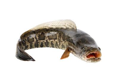 Snakehead Fish