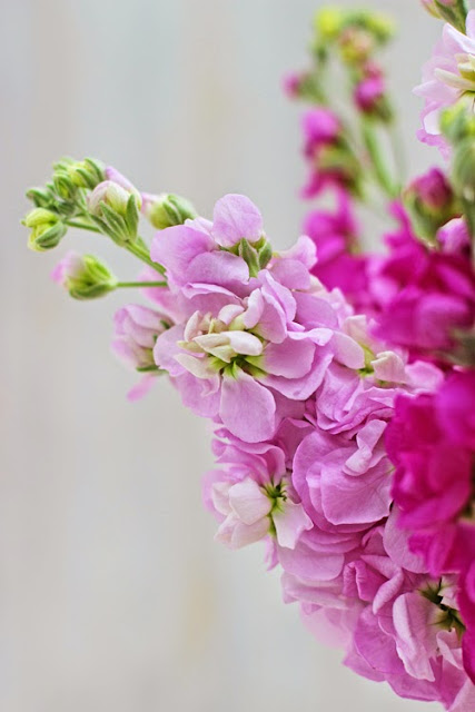 Scented Pink Stock Flowers