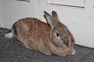 Common Rabbit Breed