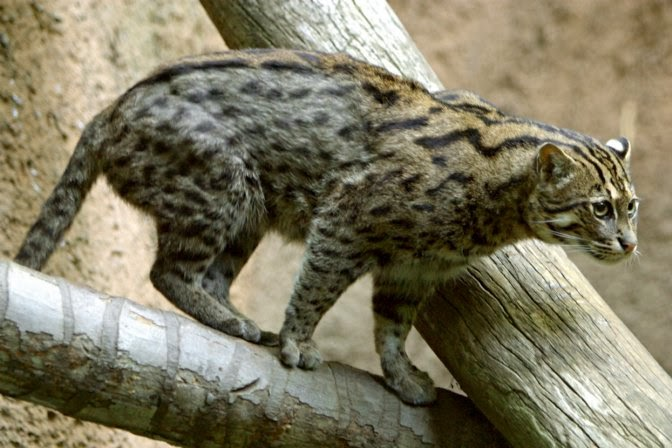 African Fishing Cat Fishing Cat Facts
