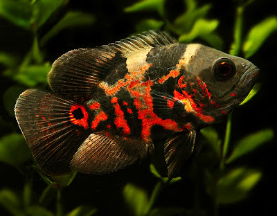 Most popular pet fish