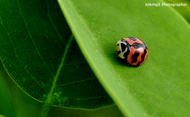 Serangga Ladybird Beetle Merah Hitam | Fotografer & Editing By : Klikmg 5 ( Shinta ) | Fotografer Cilik | Fotografer Indonesia