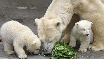 Osos polares cachorros comiendo con su madre
