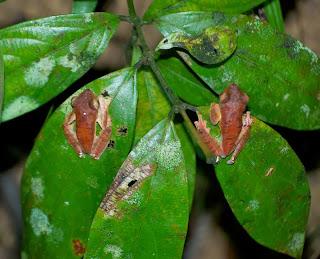 Harlequin Flying Frog (Rhacophorus pardalis)