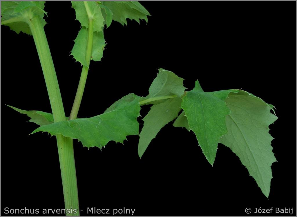 Sonchus arvensis stalk   - Mlecz polny łodyga